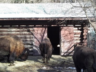 Bison backs at Deer Pen Road.