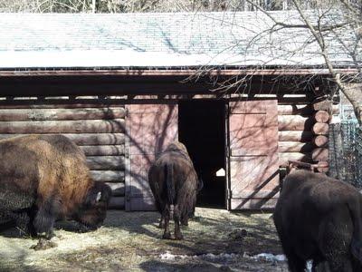 Bison backs at Deer Pen Road.