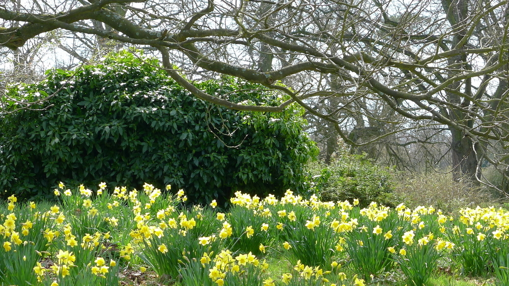 Daffodils at Kew Gardens, London
