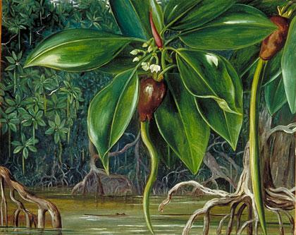 Mangrove Swamp Sarawak Borneo